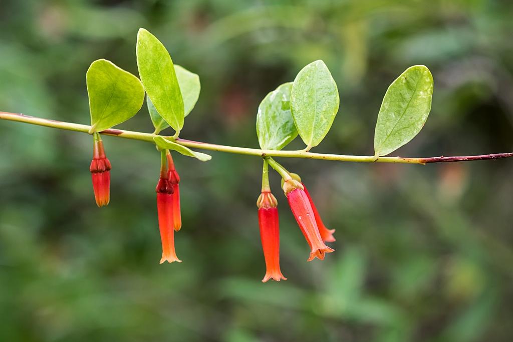 Ericaceae Maclea10