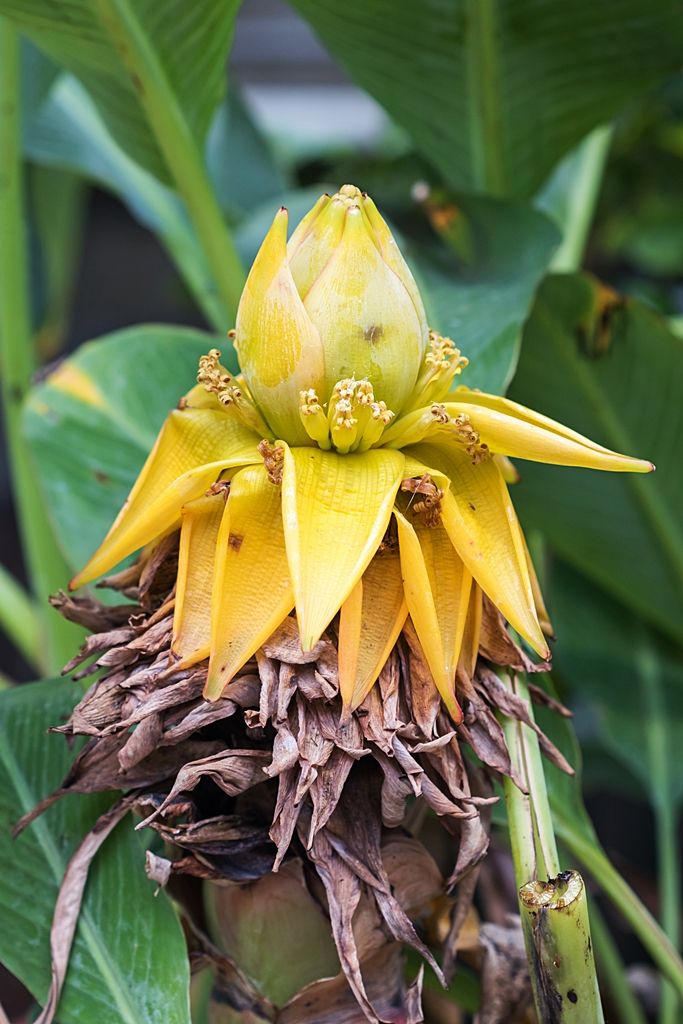 Bananengewächse (Musaceae) - Seite 9 Musell11