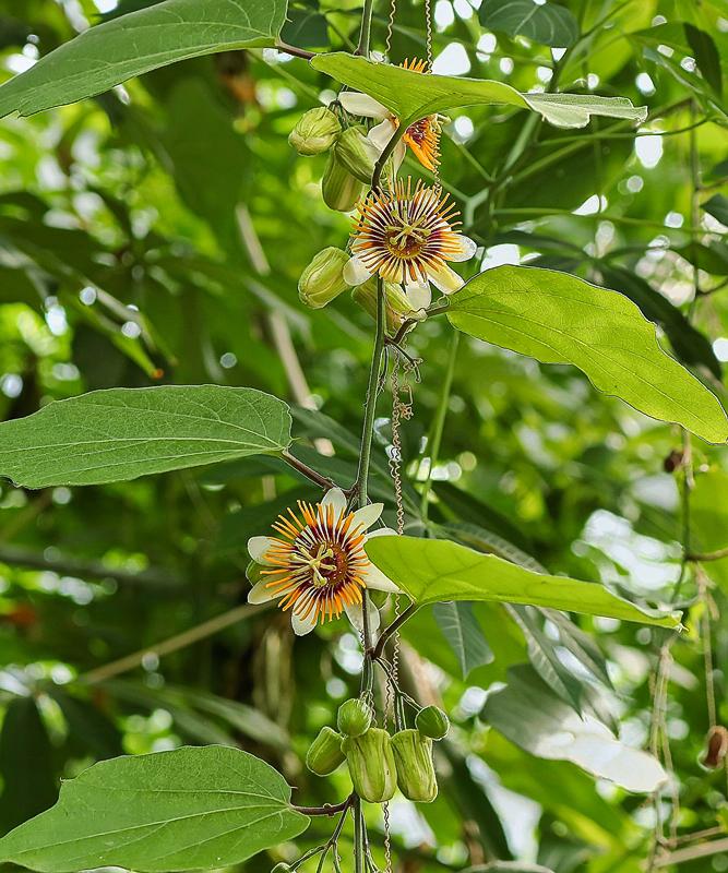"""Passiflora - Passionsblume - kleine """"Juwelen"""" - alles über Aussaat, Pflege, Vermehrung und natürlich Blütenbilder :) - Seite 28 Passif11"""