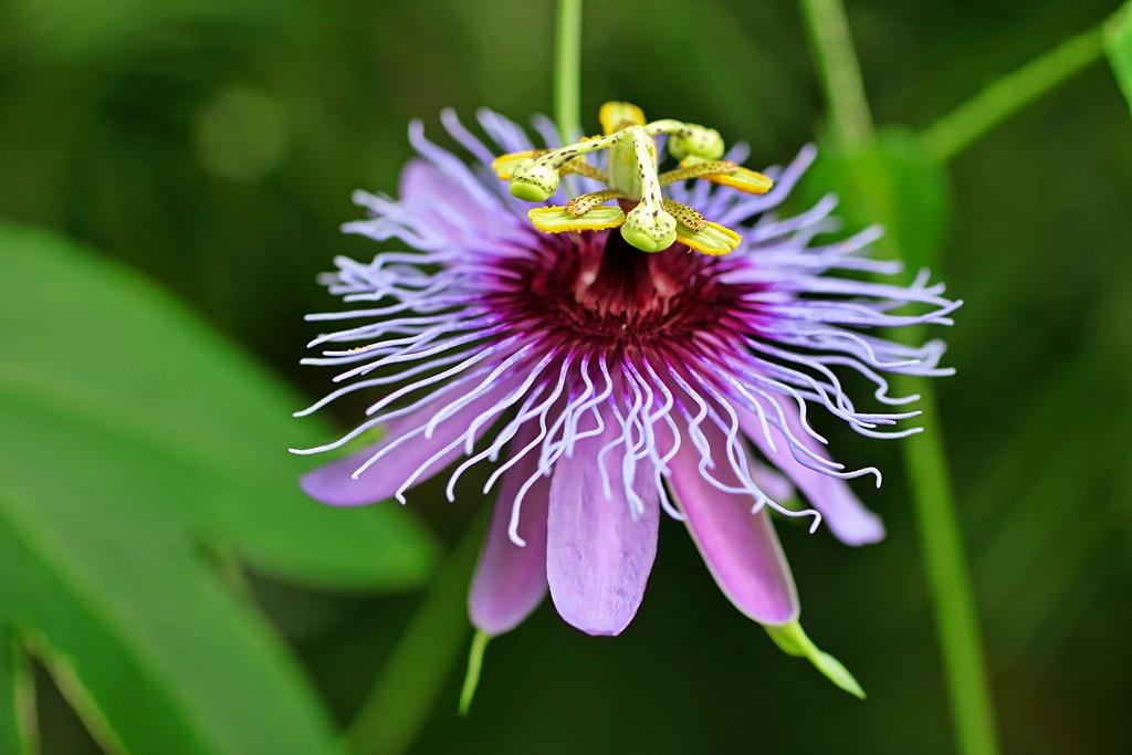 """Passiflora - Passionsblume - kleine """"Juwelen"""" - alles über Aussaat, Pflege, Vermehrung und natürlich Blütenbilder :) - Seite 30 Passif12"""