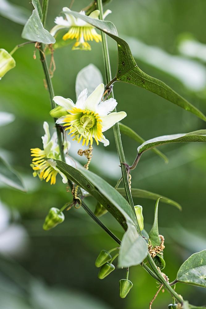 """Passiflora - Passionsblume - kleine """"Juwelen"""" - alles über Aussaat, Pflege, Vermehrung und natürlich Blütenbilder :) - Seite 34 Passif14"""