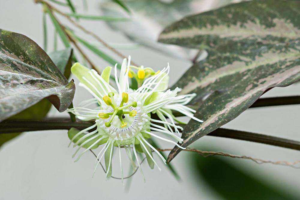 """Passiflora - Passionsblume - kleine """"Juwelen"""" - alles über Aussaat, Pflege, Vermehrung und natürlich Blütenbilder :) - Seite 35 Passif15"""
