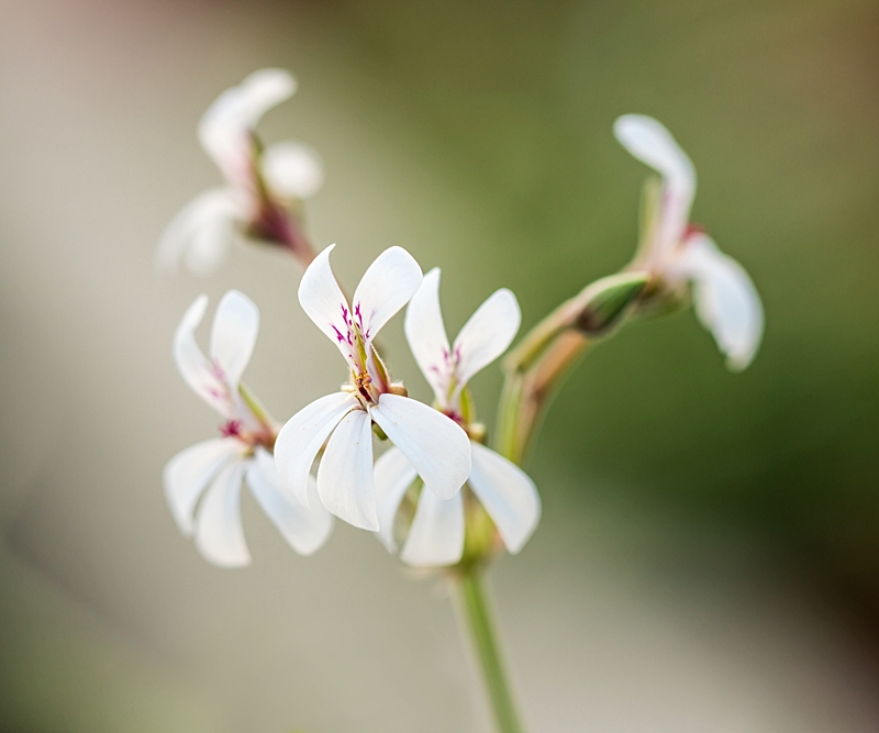 Pelargonium - Pelargonien - alle nichtsukkulenten Arten und Sorten - Aussaat - Stecklinge - Seite 21 Pelarg15