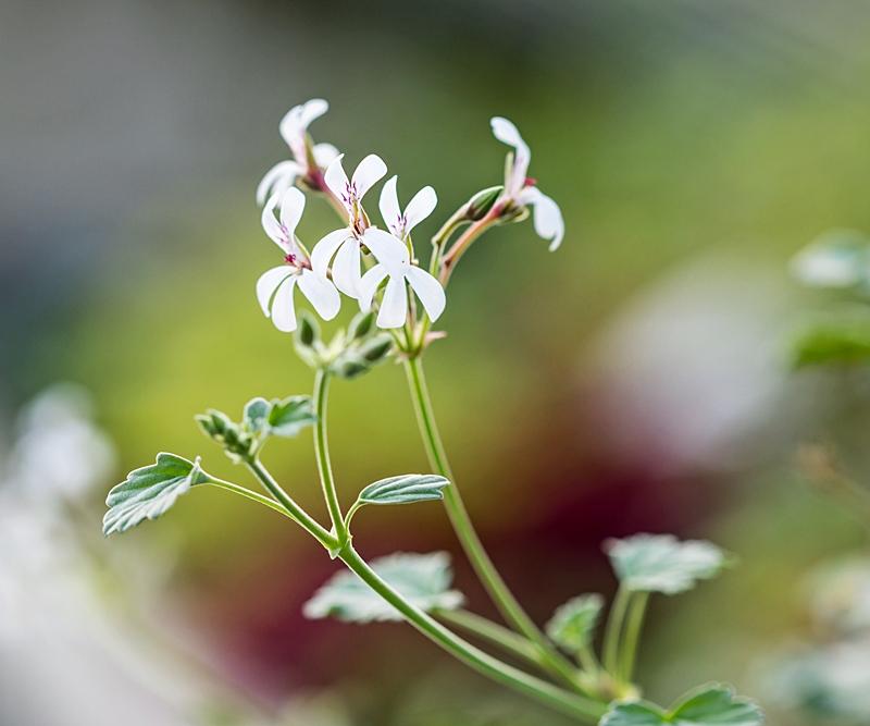 Pelargonium - Pelargonien - alle nichtsukkulenten Arten und Sorten - Aussaat - Stecklinge - Seite 21 Pelarg16