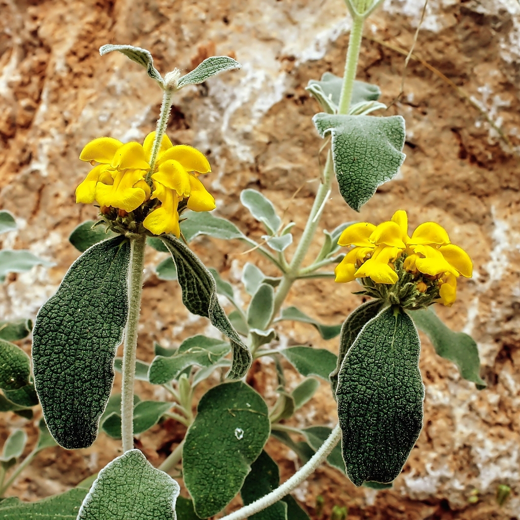 Kübelpflanzen - Seite 19 Phlomi11