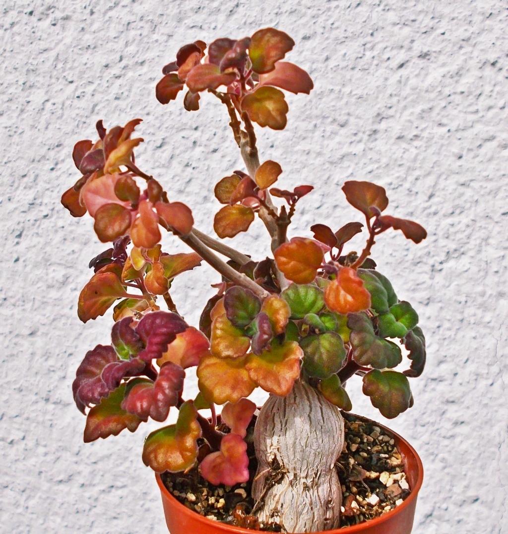 Plectranthus ernstii Plectr13