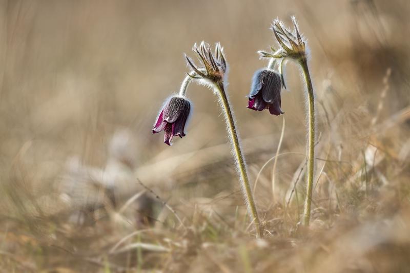 Wildblumen ( Sammelthread) - Seite 18 Pulsat10