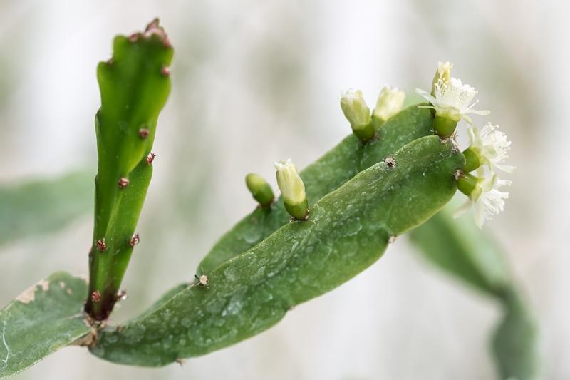 Rhipsalis agudoensis Rhipsa11