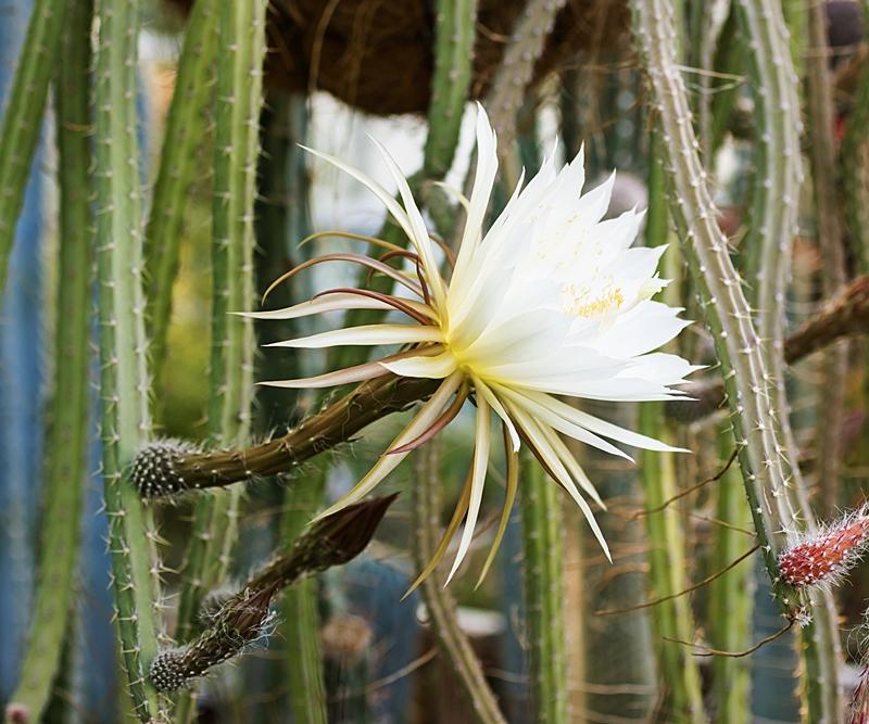 Selenicereus spinulosus Seleni10