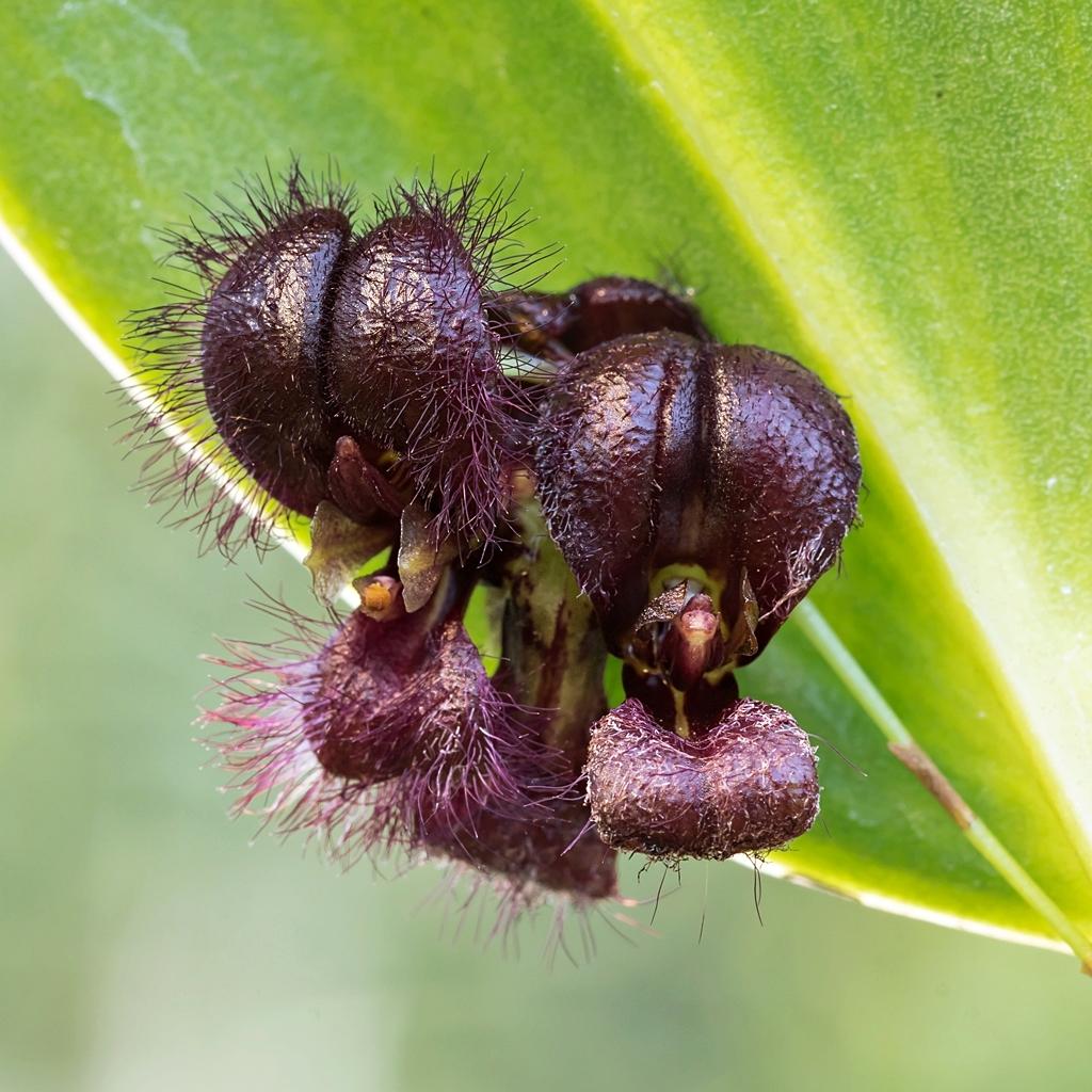 Stelis tarantula Stelis10