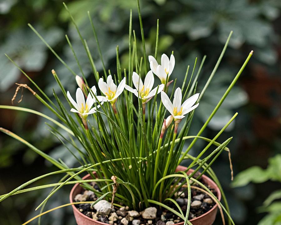 Amaryllisgewächse - Amaryllidaceae (Hippeastren, Nerine, Amaryllis, Agapanthus und auch Allium & Narzissen) - Seite 77 Zephyr10