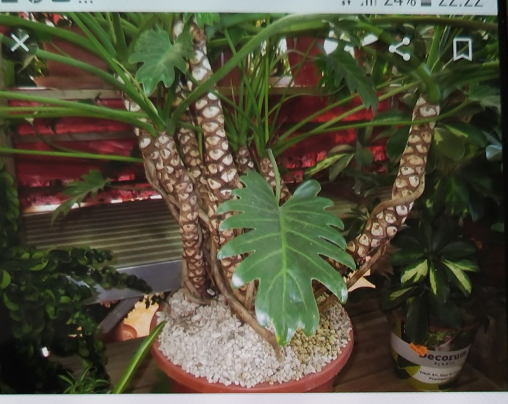 Philodendron ?? 20200513