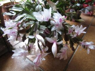 cactus de noel Img_3915