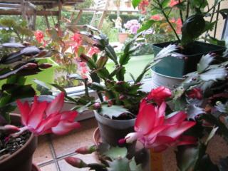 cactus de noel Img_3918
