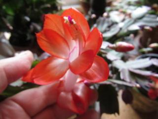 Schlumbergera abricot Img_3922