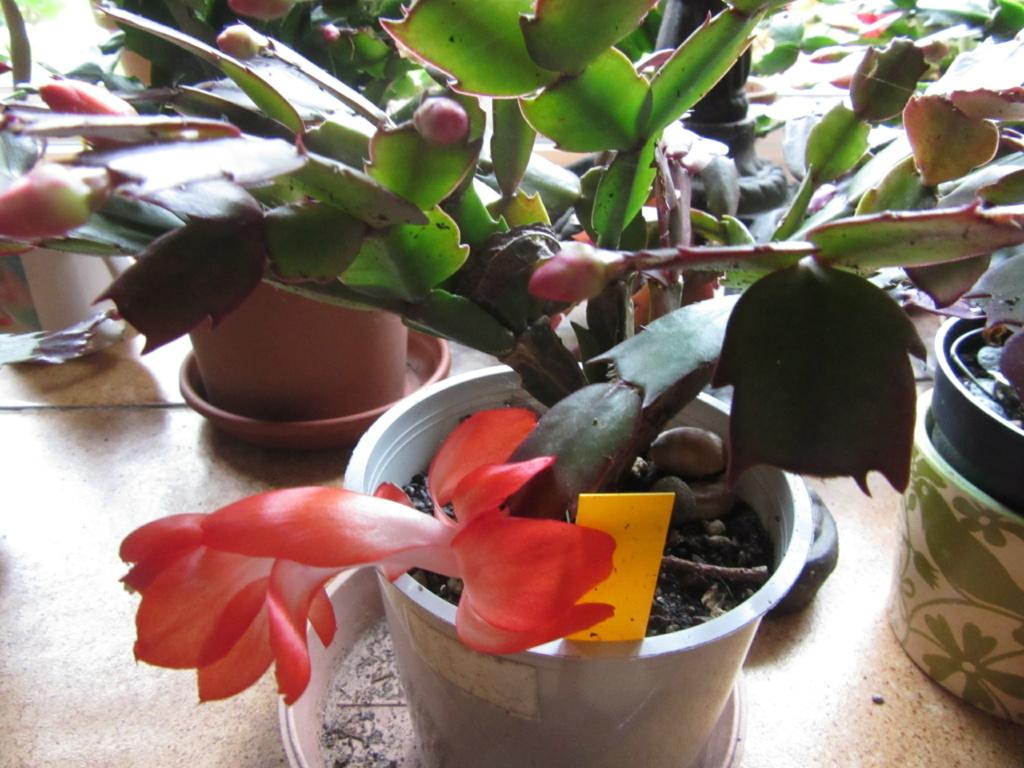 cactus de noel Img_3925