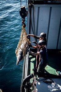Mort massive de dauphins : Sea Shepherd pointe du doigt les chalutiers et les navires usines  See_sh10