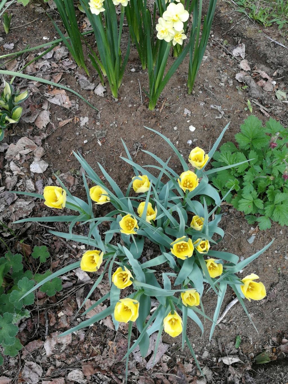 Tulipa batalinii Img_2172