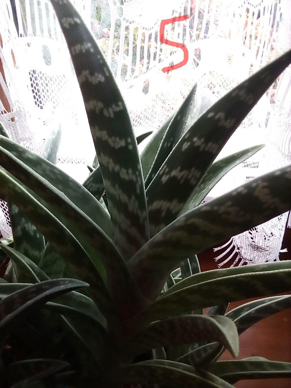 Besoin d'aide pour identifier les cactus/plantes grasses Img_2068