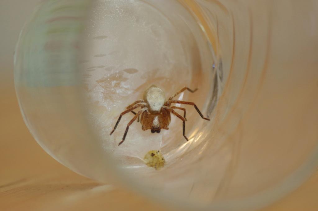 Nid d'Olios Argelasius dans la maison Spider10