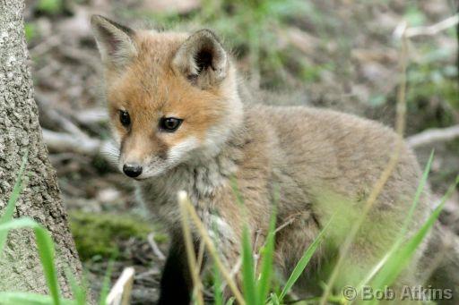 ALGO QUE OCULTAR Fox_cu10