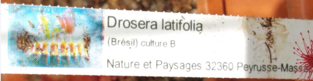Drosera latifolia {Serra do Cabral, Brazil} Etique10