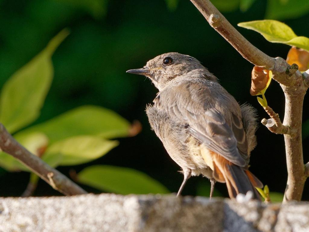 Quelques test oiseaux du jardin P1012910