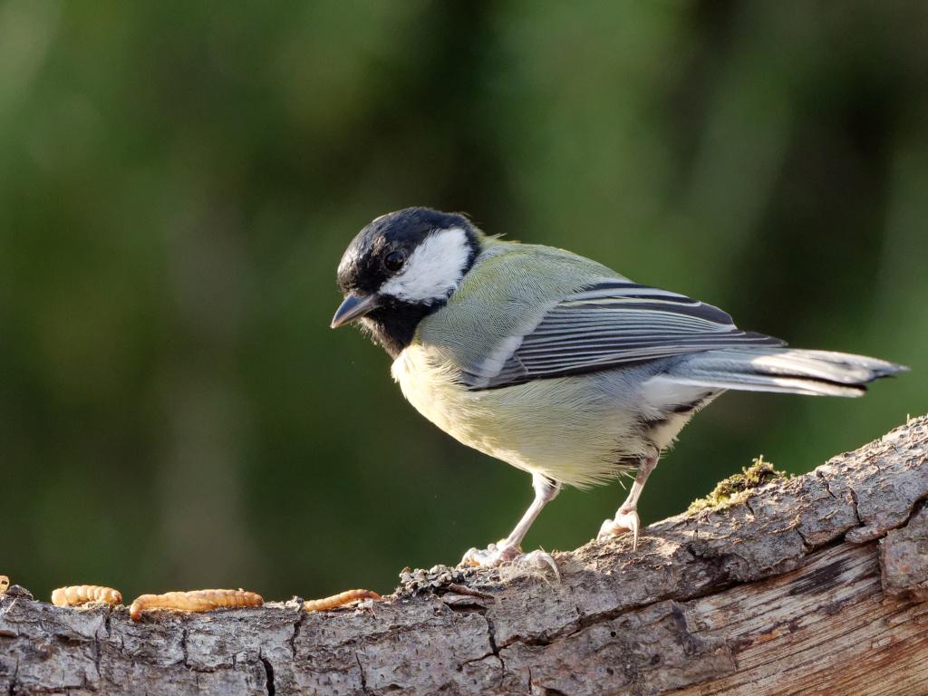 Quelques test oiseaux du jardin P1012911