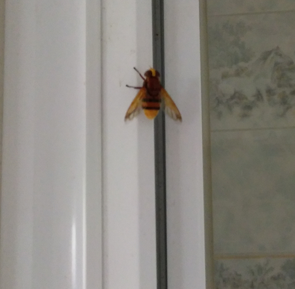 Identification guèpe ou abeille ? Img_2010