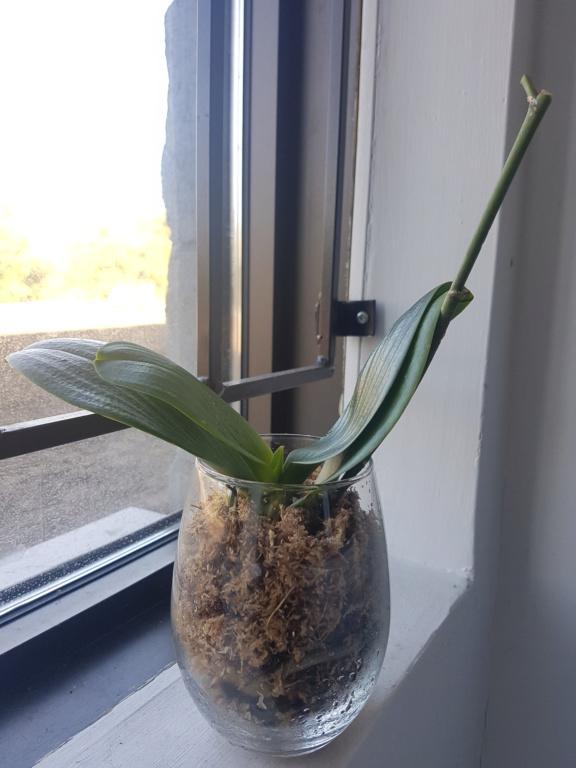 Voici les miennes tous des phalaenopsis  20190917
