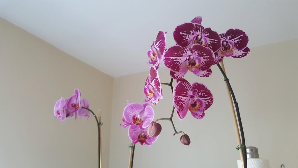 Voici les miennes tous des phalaenopsis  Orchid19