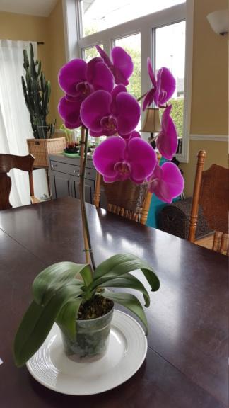 Voici les miennes tous des phalaenopsis  Orchid21