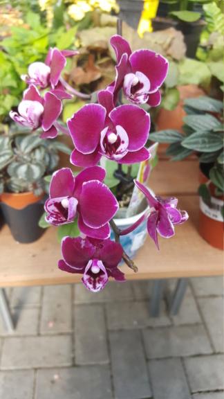 Voici les miennes tous des phalaenopsis  Orchid22