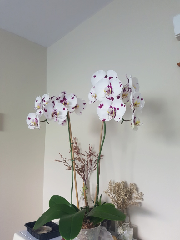 Voici les miennes tous des phalaenopsis  Orchid23