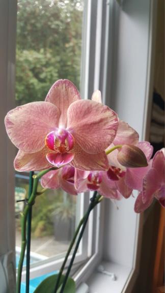 Voici les miennes tous des phalaenopsis  Orchid24