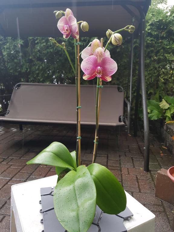 Voici les miennes tous des phalaenopsis  Orchid27