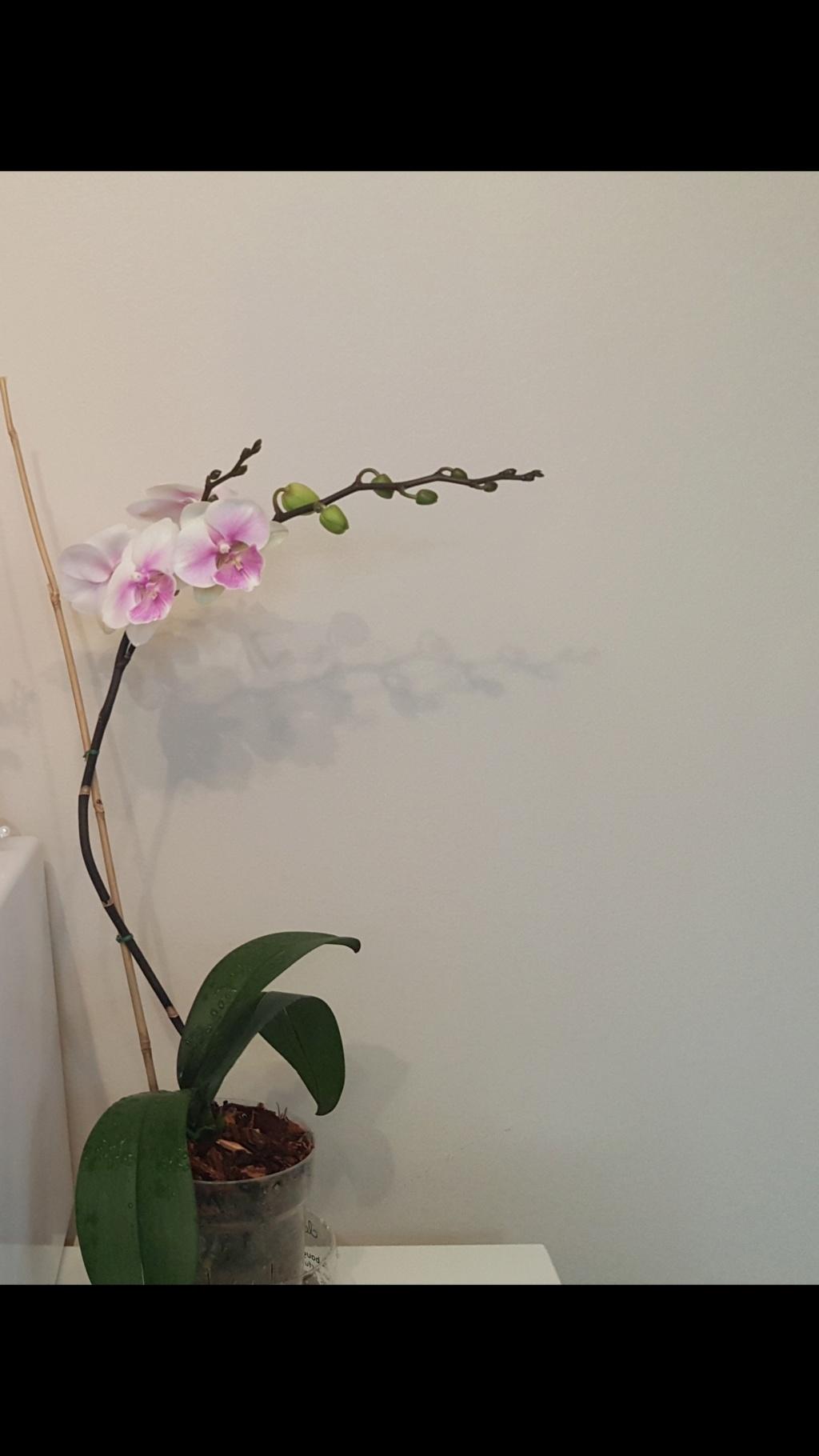 Voici les miennes tous des phalaenopsis  Orchid28