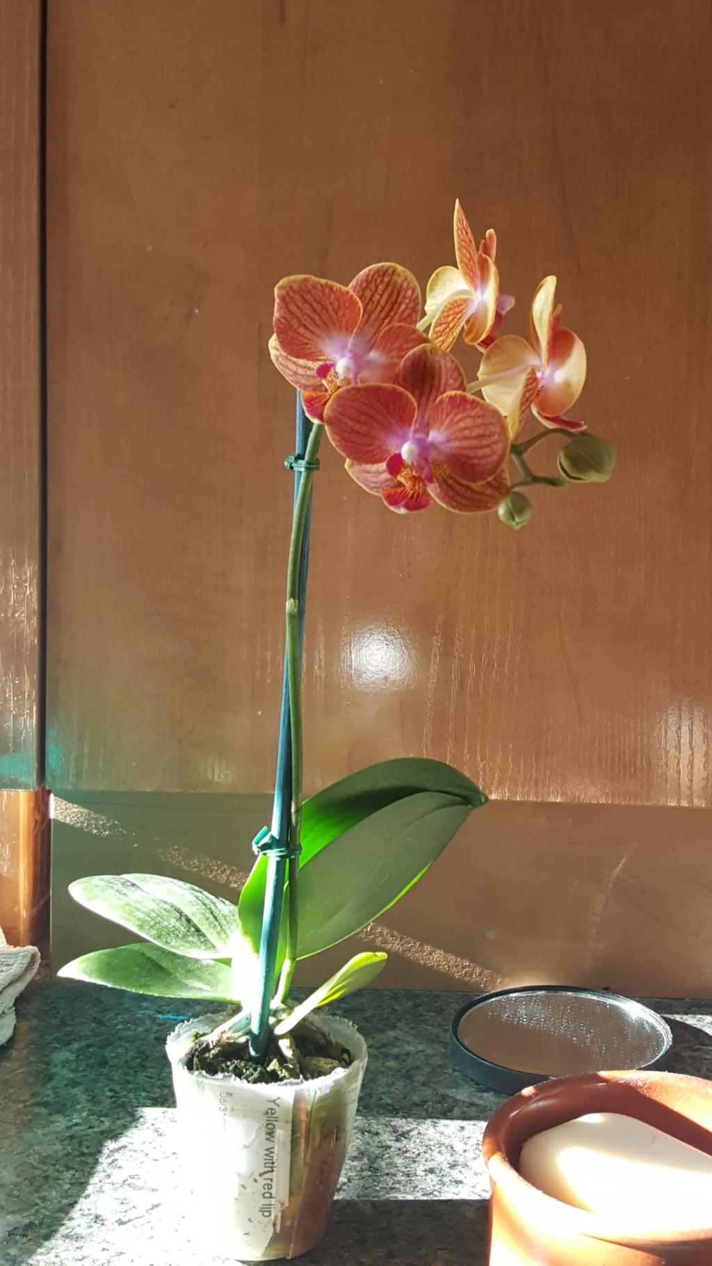 Voici les miennes tous des phalaenopsis  Orchid29