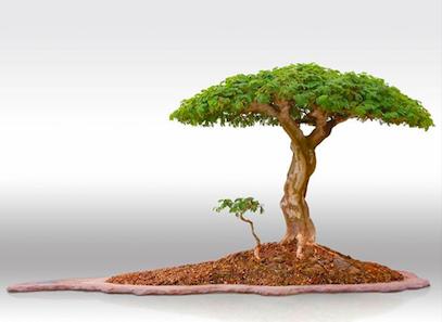 ¿Qué especie podría ser este bonsai? Captur10