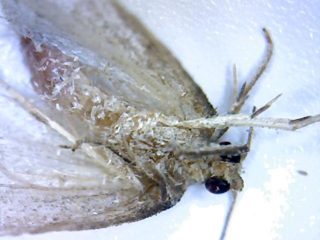 Petit insecte (peut-être un petit papillon de nuit) à identifer Win_2010
