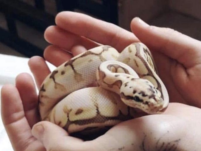 Connaissez-vous ce serpent ? Est ce un bon choix pour un premier compagnon ? 3f614410