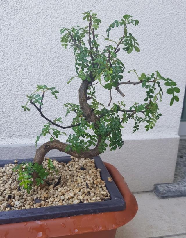 primo bonsai pepper tree: chiedo consigli - Pagina 4 Whatsa13