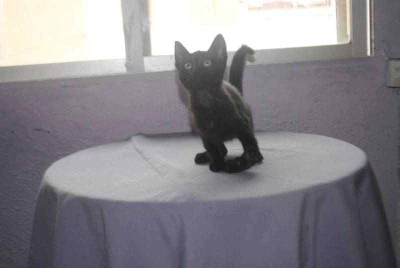 Chaton noir handicapé 10590210