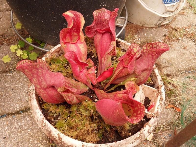 Sarracenia purpurea ssp Ikea Sdc17611