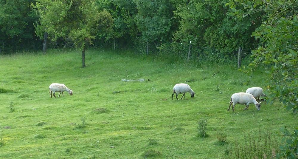 Mes 5 shets dans la prairie des moutons. Brebis10