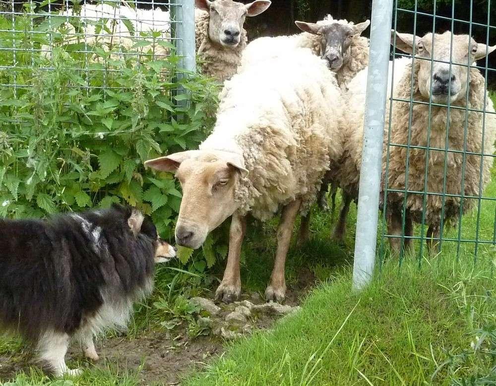 Mes 5 shets dans la prairie des moutons. Les_5_41