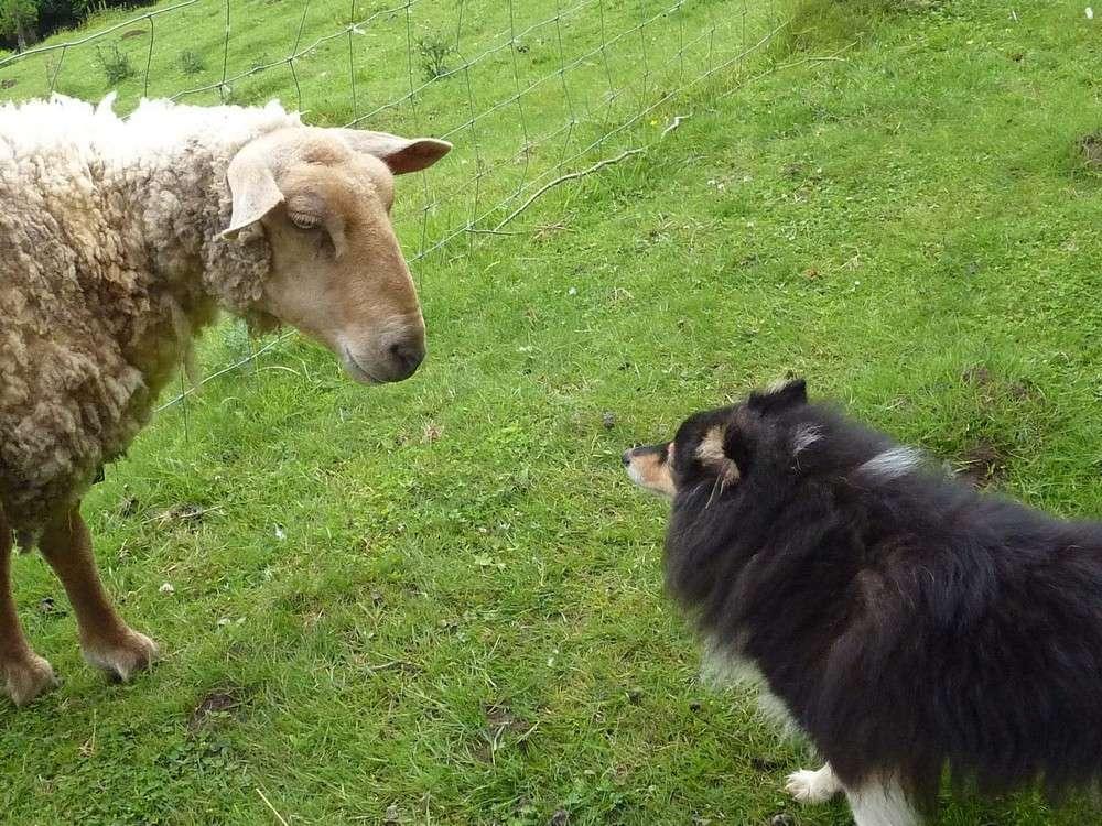 Mes 5 shets dans la prairie des moutons. Les_5_49