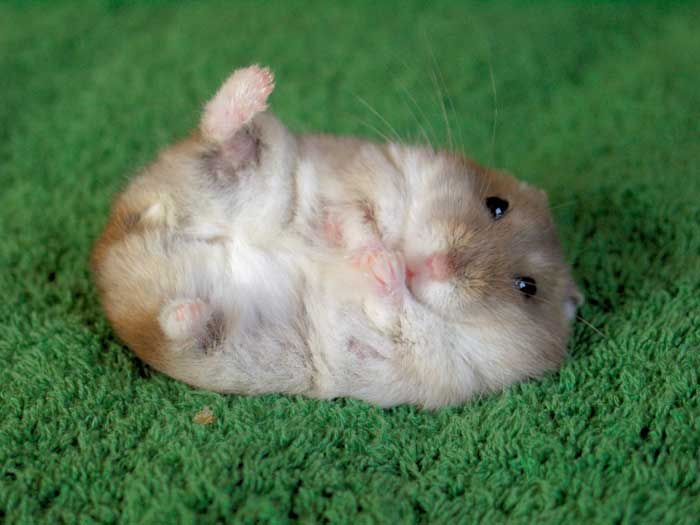 le hamster Hamste10