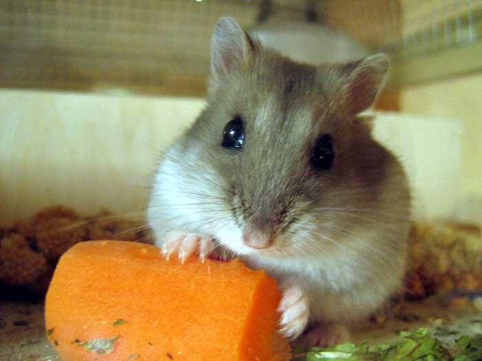 le hamster Hamste11