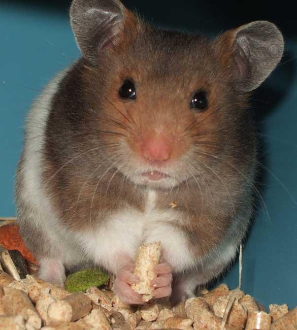 le hamster Hamste13